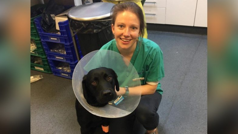 Labrador Charlie Swallows Two Teddy Bears! Vets Release Pictures of the Risky Surgery