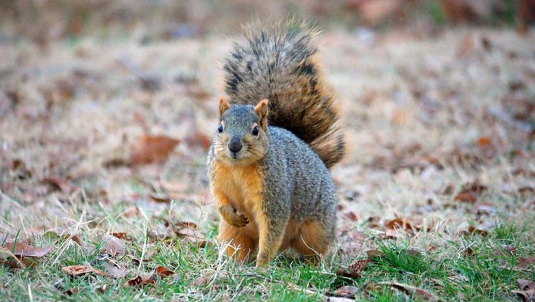 2-Foot Tall Squirrels Caught on Camera in North Carolina, View Pic of Fox Squirrel