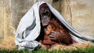 Cadbury Chocolate Bars, Oreo Cookies etc. Are Pushing the Orangutans Towards Extinction, Says Report
