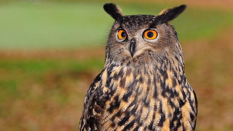 Image of: Great Horned Owl Sacrifice For Diwali Know The Story Behind The Tradition That Spikes Illegal Trade Of Latestly Owl Sacrifice For Diwali Know The Story Behind The Tradition That