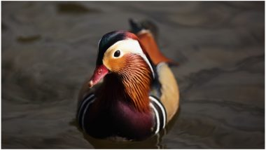 World's Most Beautiful Bird Mandarin Duck Graces New York City's Central Park (See Pictures)