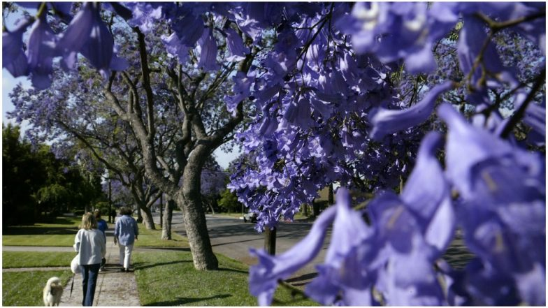 Jacaranda Trees Turn Streets of Sydney Into a Purple Haze! See Stunning Pictures of Beautiful Flowers