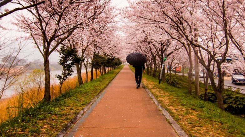 India International Cherry Blossom Festival 2018 Begins in Shillong as Himalayan Cherry Flowers Bloom (See Pictures)
