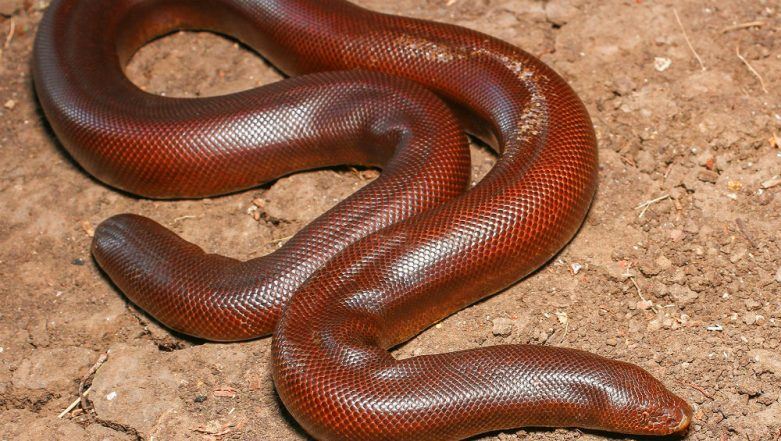 Snake Worth Rs 20 Lakhs Recovered by Mumbai Police, 2 Men Arrested for Smuggling Rare Red Sand Boa