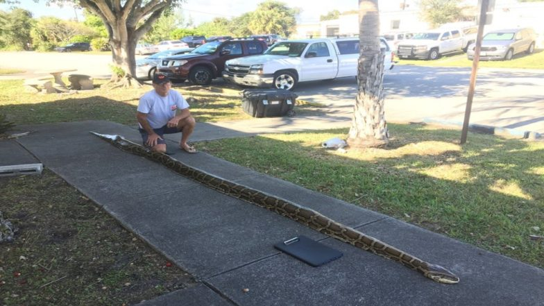 Largest Burmese Python About 18-Foot Long Caught in Florida, View Pic of The 68 Kgs Serpent