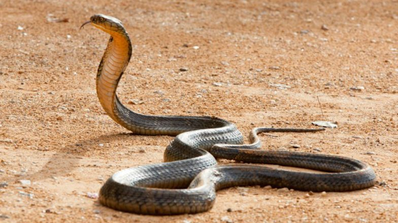 Cobra Snake Caught in Mayurbhanj District of Odisha, Watch Video of 19-Feet-Long Serpent