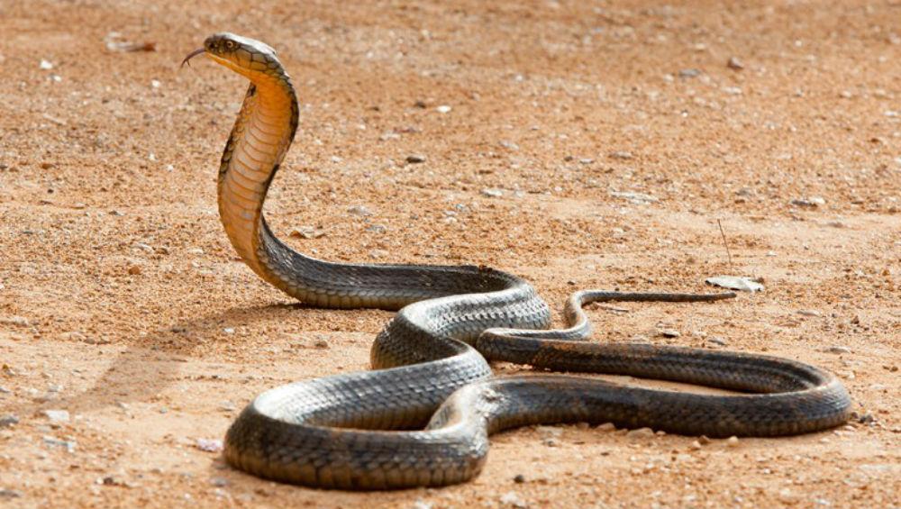 Uttar Pradesh: Biker Runs Over Snake in Jalaun District, Faces Tough Chase (Watch Video)