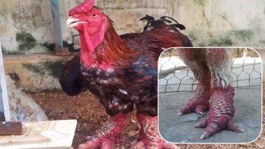 World's Most Expensive Chicken: Dragon Chickens From Vietnam Are Costliest Poultry For Their Enormous Legs, Watch Video