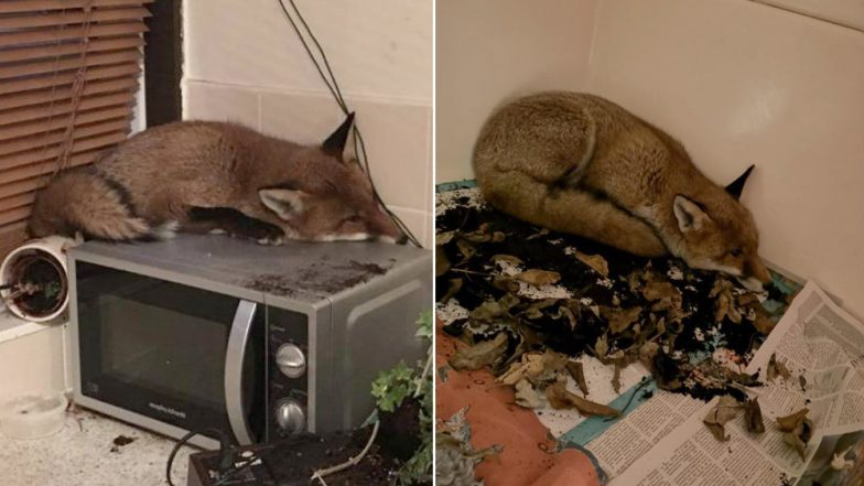 What The Fox! London Family Surprised to See a Fox Sleeping on Their Microwave, View Pic