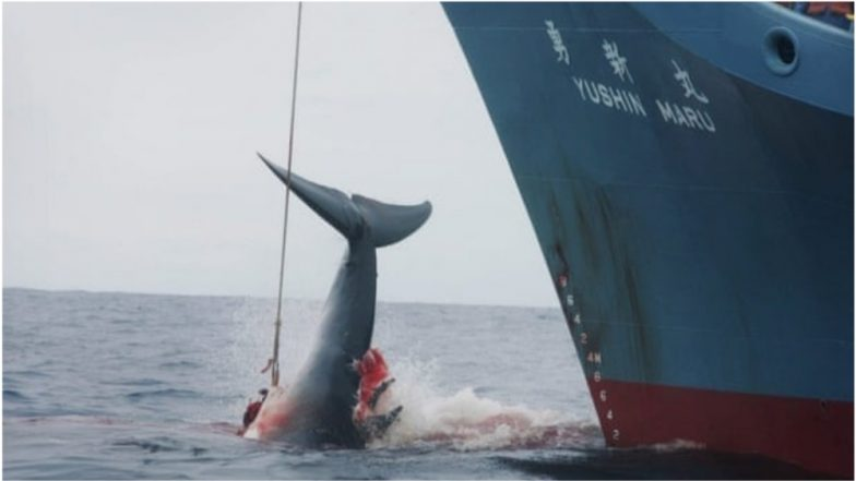 Japan Quits International Whaling Commission To Resume Commercial Whaling