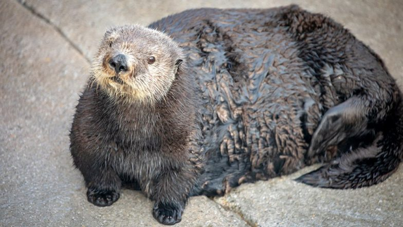 'Abby' The Otter Called Thicc by California Aquarium, Later Apologises for Fat-Shaming Meme Reference