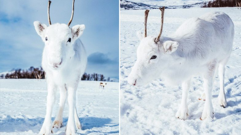 Rare White Reindeer Captured in Norway Ahead of Christmas 2018! View Cute Pics of The Snow Animal Goes Viral