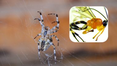 Wasp That Converts Spiders Into Zombies Discovered! Know About This Dangerous Parasite