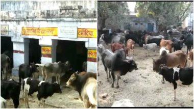 Uttar Pradesh: Over 700 Stray Cows Locked in School, Health Centre in Aligarh