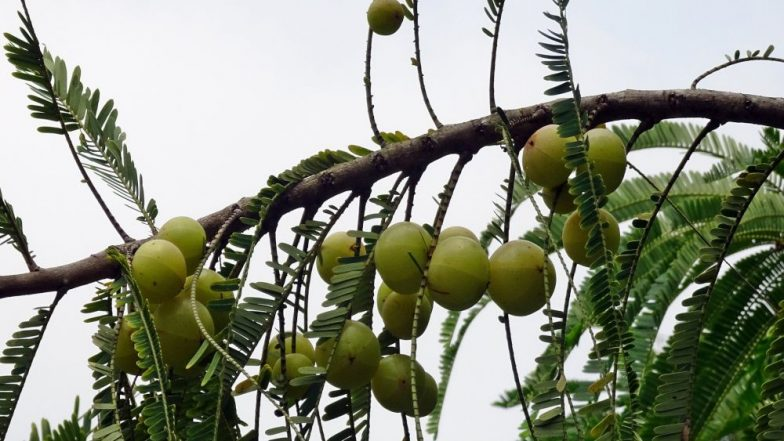 Health Benefits of Indian Gooseberries: Here's Why You Should Add Amla to Your Daily Life