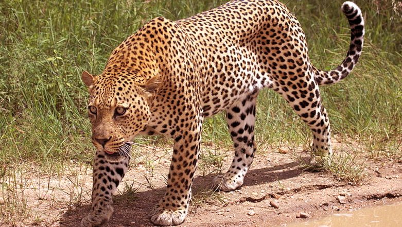 Gujarat: 3-Year-Old Leopard Knocked Down on Vadodara-Mumbai Highway in Valsad