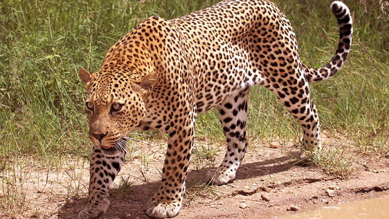 Pune Mother Fights Leopard to Save Her 18-Month-Old Child