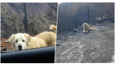Loyal Dog Madison Who Survived California Fire Found Guarding Owners' Burnt Home for a Month