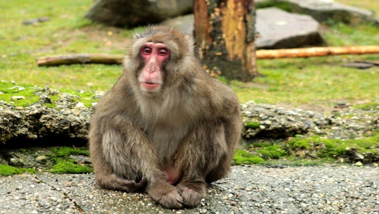 Egyptian Woman Jailed For 'Sexually Harassing' Monkey by Touching His Genitals, Watch The Viral Video That Sparked Outrage