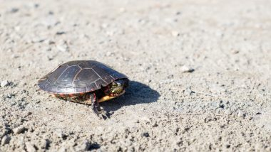 Global Warming Causing 'Feminisation' of Turtles: Study