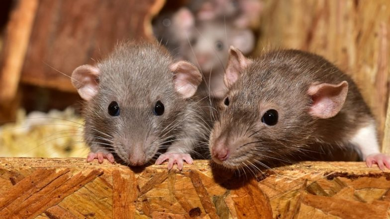 Rat Meat at Rs 200 per Kg! Assam's Kumarikata Village Witnesses High Demand for the Rodent This Holiday Season