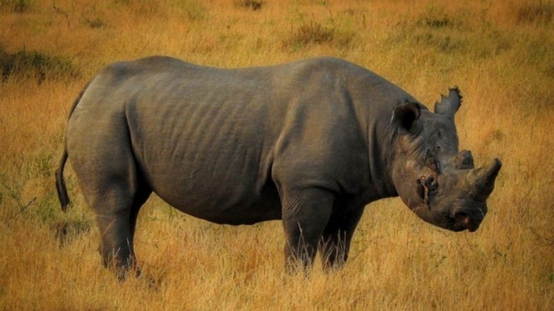 Adult Male Rhino Found Dead in Assam's Kaziranga National Park, Poachers Escape With Horn