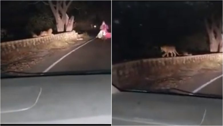 Leopard Spotted in Aurangabad's Khuldabad Ghat by Car Passengers? Video of Wild Cat Goes Viral