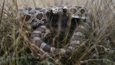 Texas Man Discovers Dozens of Rattlesnakes Nestling Under His Building; Scary Video Goes Viral