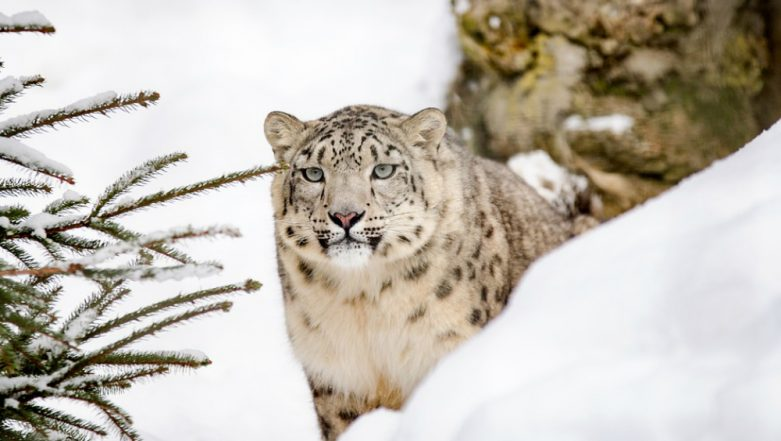 Snow Leopard Shot Dead After Escaping Dudley Zoo Enclosure 'In the Interest of Public Safety'