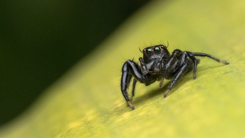 Do Spiders Produce Milk? Scientists Discover New Jumping Spiders Which Lactate and Nurse Their Babies, Watch Video