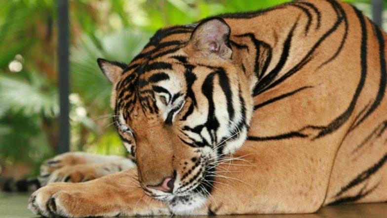 Tiger Found Dead in Ratapani Wildlife Sanctuary of Madhya Pradesh With Paws Chopped