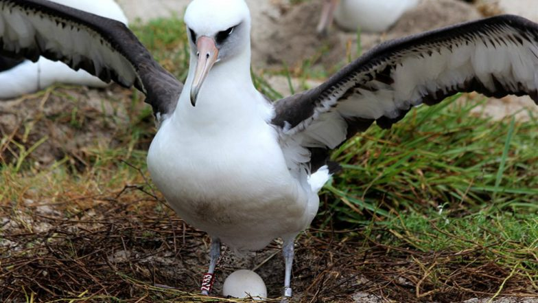 World's Oldest Wild Bird 'Wisdom' Is Expecting! 68-Year-Old Laysan Albatross Lay Egg for the 37th Time