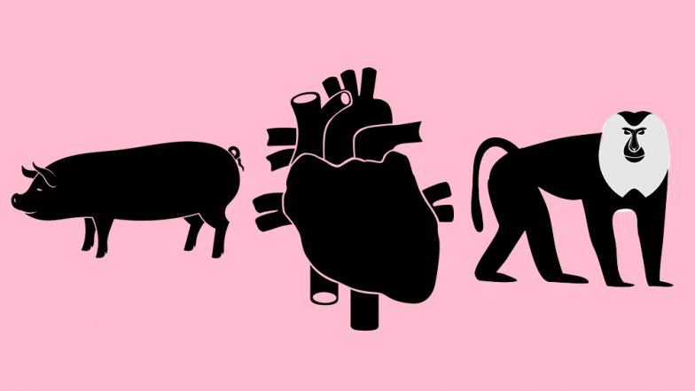 Pig-to-Baboon Heart Transplant Offers Hope for Xenotransplantation In Humans: Everything About Cross-Species Organ Transplant