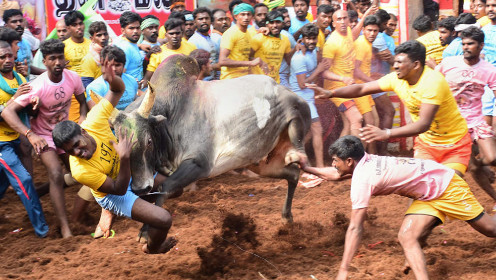 Tamil Nadu: Over 2,000 Bulls to Participate in Jallikattu in Madurai