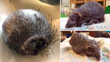 Bear- the Bald Hedgehog Who Lost All His Spikes Due to STRESS Gets a Daily Massage With Aloe Vera (View Shocking Viral Pictures)