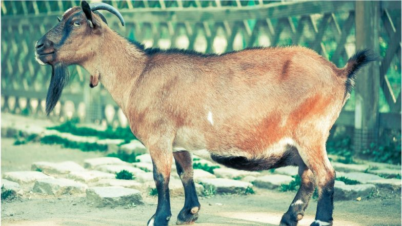 Shocking Beastality Case! African Man Caught Raping Goat, Claims He Took Animal's Consent Before Having Sex!