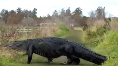 Massive Alligator 'Fabio' Spotted Strolling Across in Florida Reserve, Watch Video