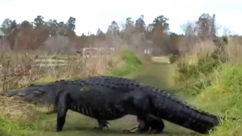 Massive Alligator 'Fabio' Spotted Strolling Across in Florida Reserve, Watch Video