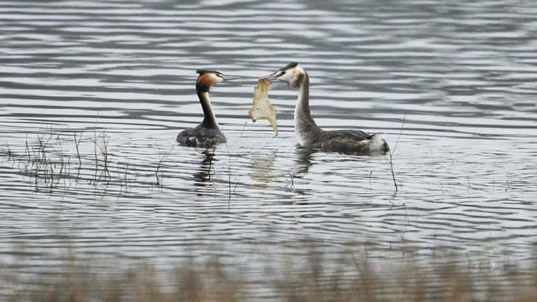 Plastic Pollution: Photographer Captures a Bird Offering Plastic Waste as a Mating Gift to Partner, View Heartbreaking Pic!