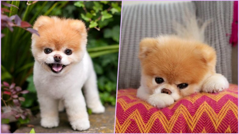 Boo, World's Cutest Dog Dies at 12 After Mourning the Death of His Canine Companion 'Buddy'! Social Media Grieves