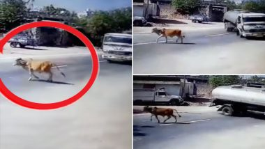 Cow Miraculously Escapes Unhurt as Truck Driver Loses Control While Saving it, Watch Dramatic Video From Junagarh