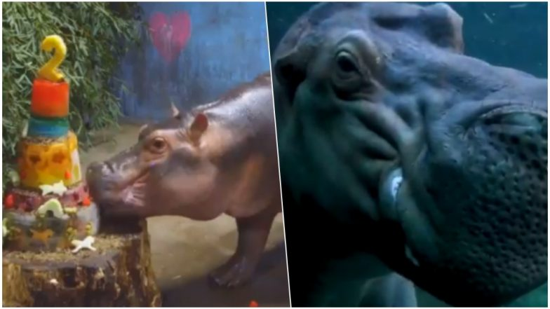 Fiona, the Hippo From Cincinnati Zoo Turns 2! Surprise Wish From Her Crush Timothy is Melting Hearts Online, Watch Cute Video