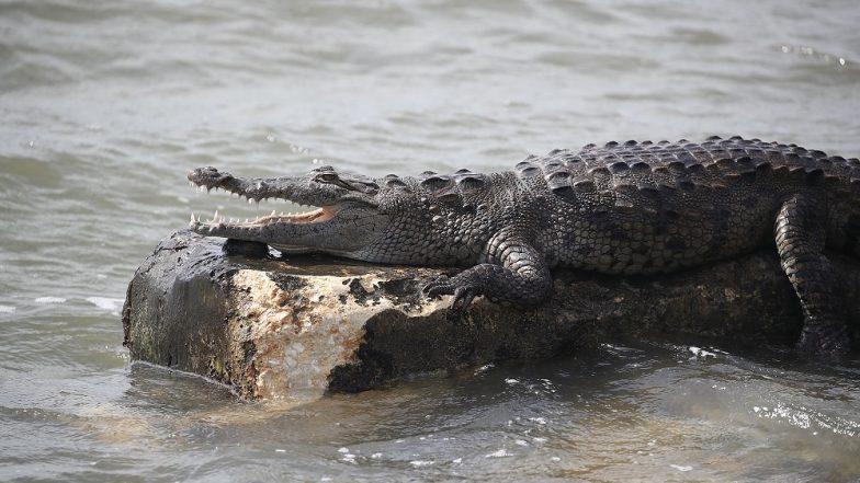 Rajasthan: Crocodile Kills Man in Chambal River in Karauli District