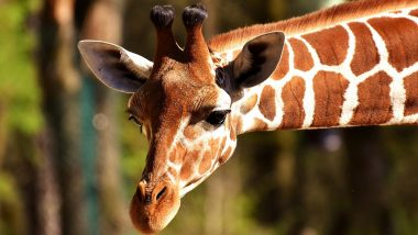 Mumbai: After Penguins, Veermata Jijabai Bhonsale Udyan and Zoo To Welcome Giraffes, Zebras, Jaguars