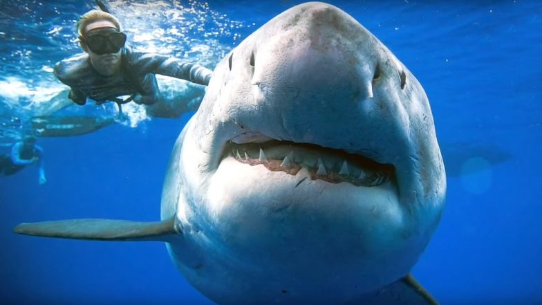 'Biggest' White Shark Spotted in Hawaii: Divers Swim Together With the Great Predator, Watch Video and Pics