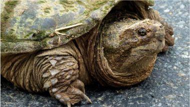 Odisha: Turtle of Rare Variety Weighing 42-Kg Found During Construction Near Bhimkhoj Pada Road