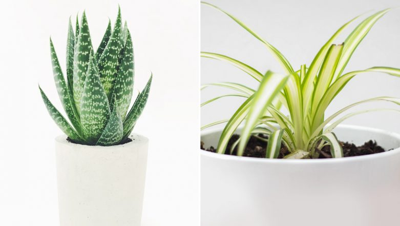 Aloe Vera, Peace Lily and Boston Ferns: 7 Indoor Plants That Will Keep Your Home Pollutant Free