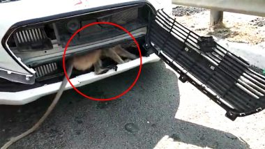 Langur Gets Stuck in Car's Bonnet on Ahmedabad Expressway in Gujarat, Video Goes Viral