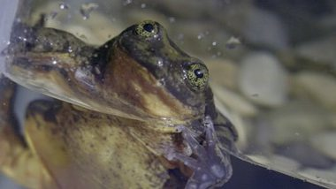 Romeo, World's Loneliest Sehuencas Water Frog Just Found His Juliet After 10 Years!