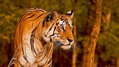 Tigress Kareena Dies in Aurangabad's Siddharth Garden Zoo in Maharashtra, Swab Sent for COVID-19 Test